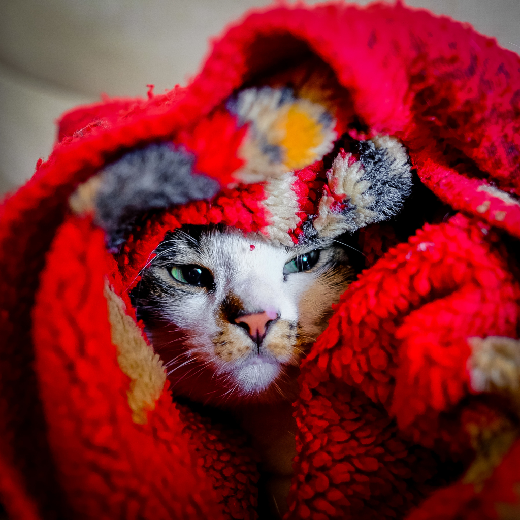 A cat snuggled in a blanket. He is ready for winter.